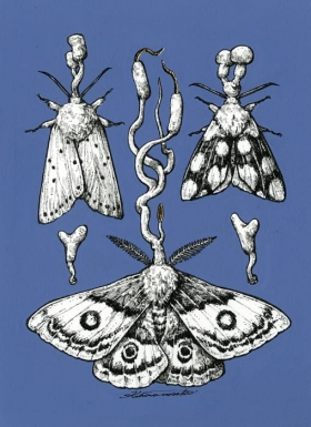 parasitic moth